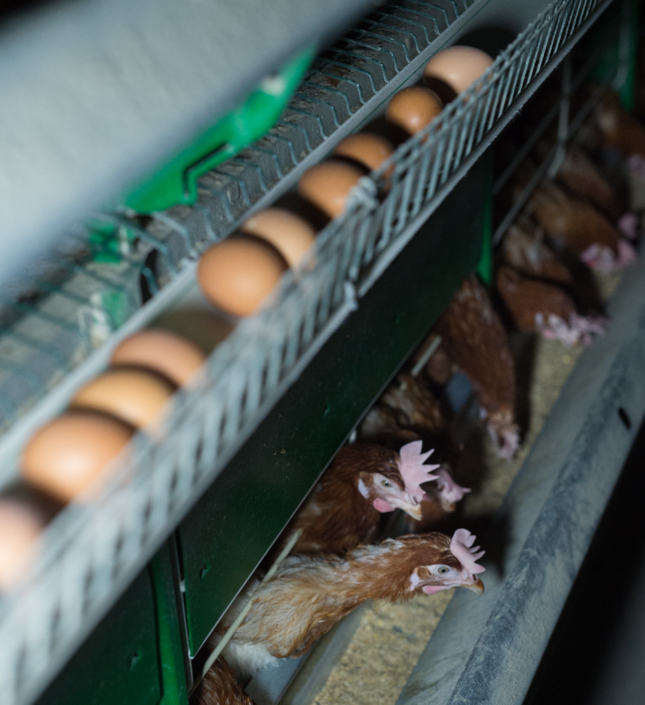 ¿Cómo viven las gallinas?